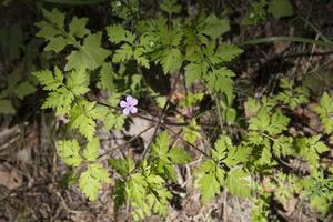 Geranium robertianum · raudonstiebis snaputis