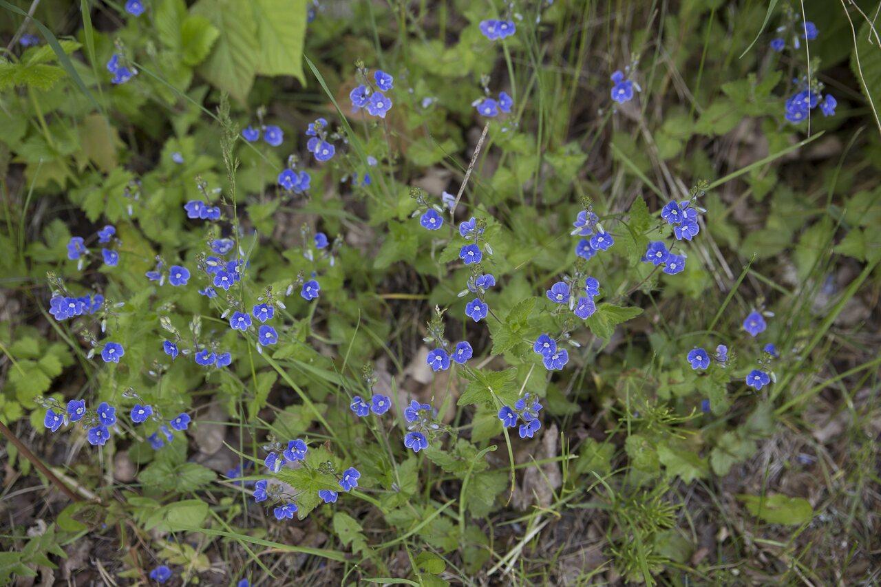 Plantaginaceae-2659.jpg