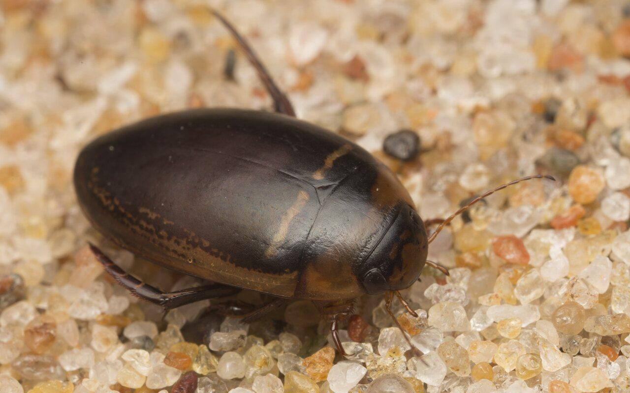 Dytiscidae-2677.jpg