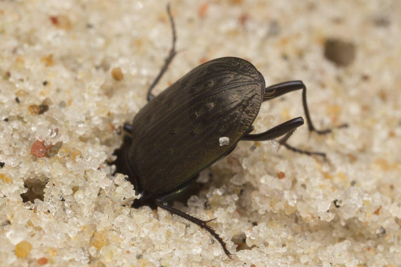 Carabidae-2685.jpg