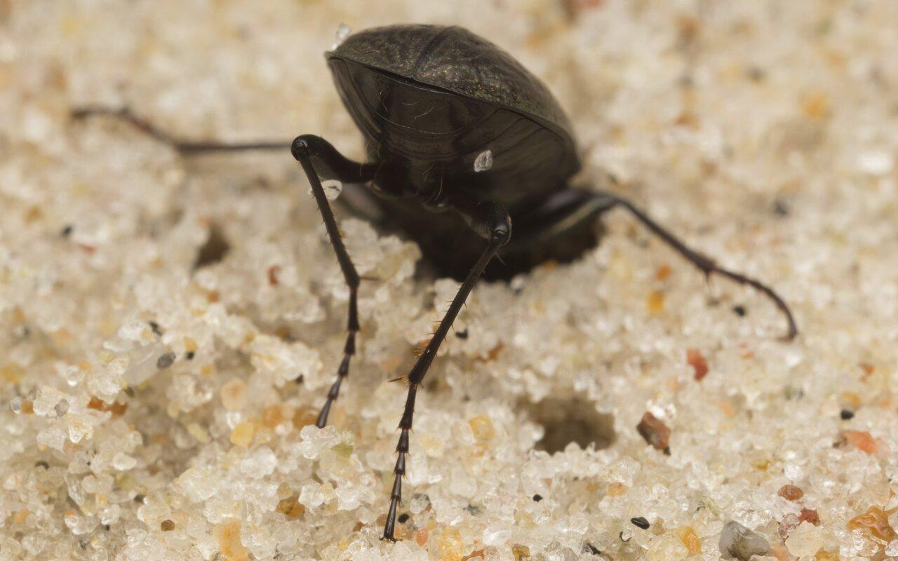 Carabidae-2686.jpg