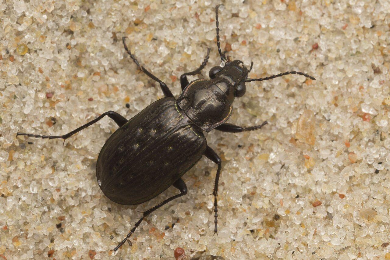 Carabidae-2691.jpg