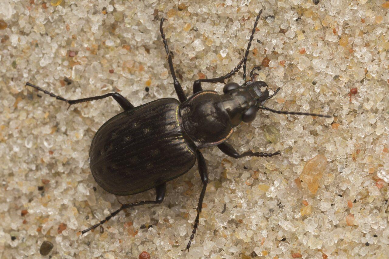 Carabidae-2692.jpg