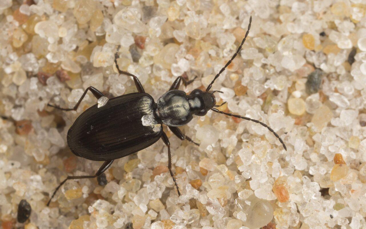 Carabidae-2704.jpg