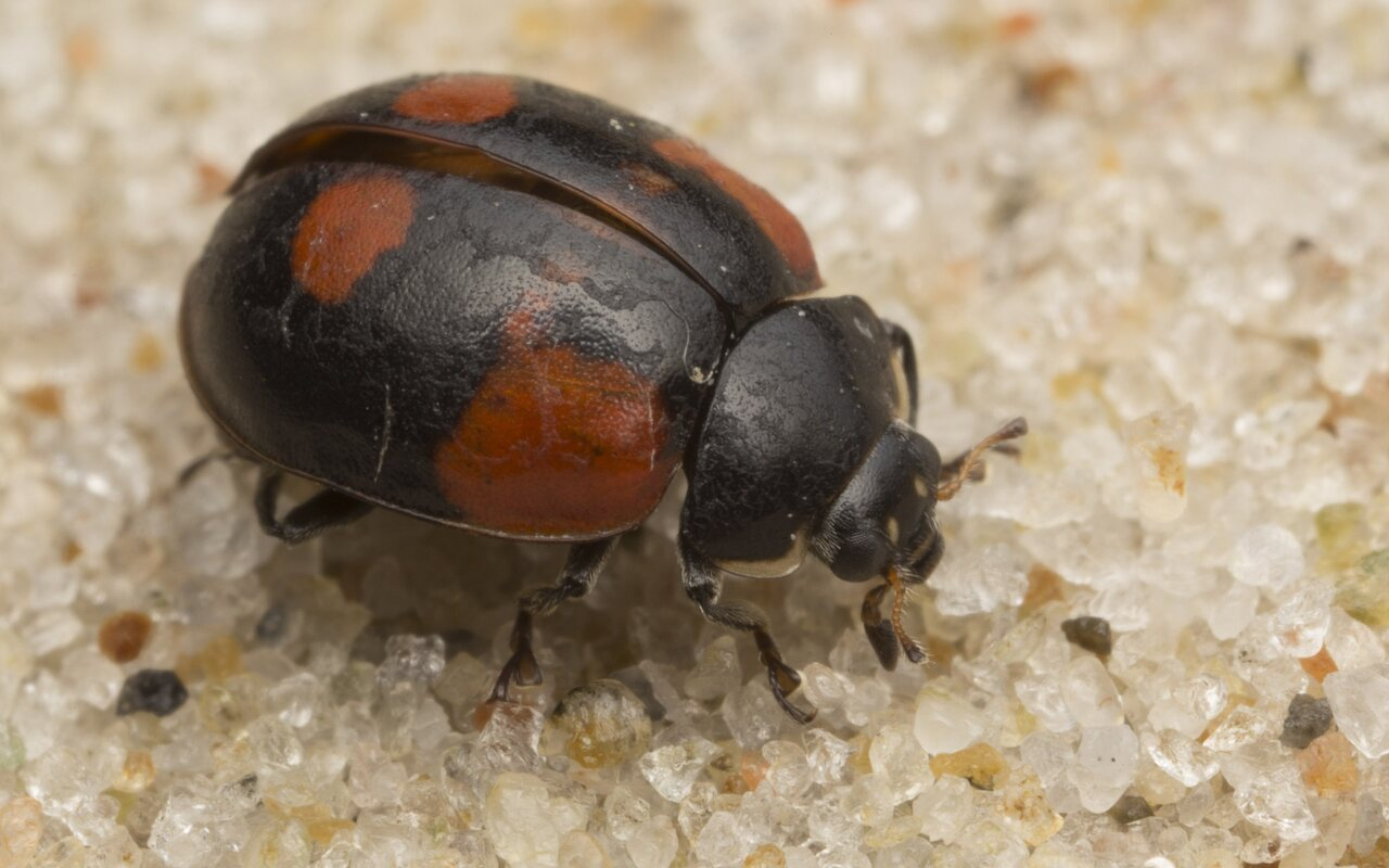 Coccinellidae-2707.jpg