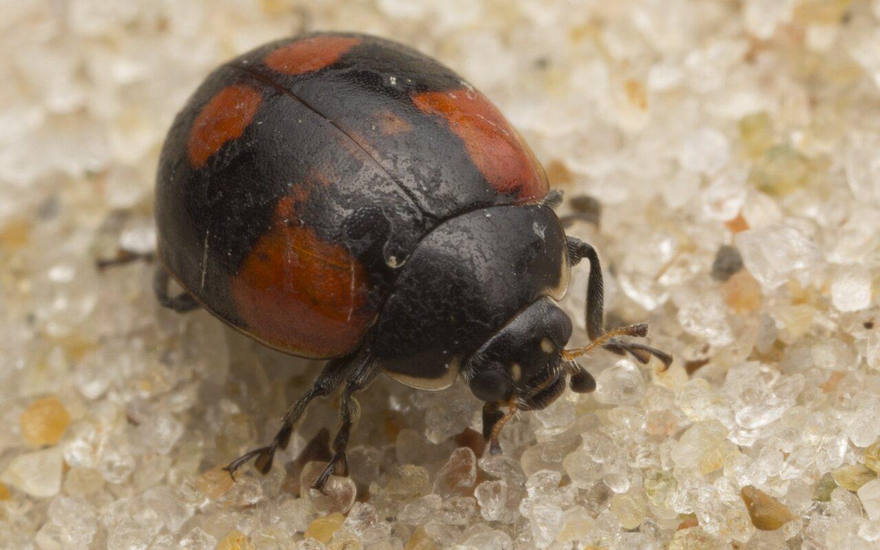 Exochomus-quadripustulatus-2708.jpg