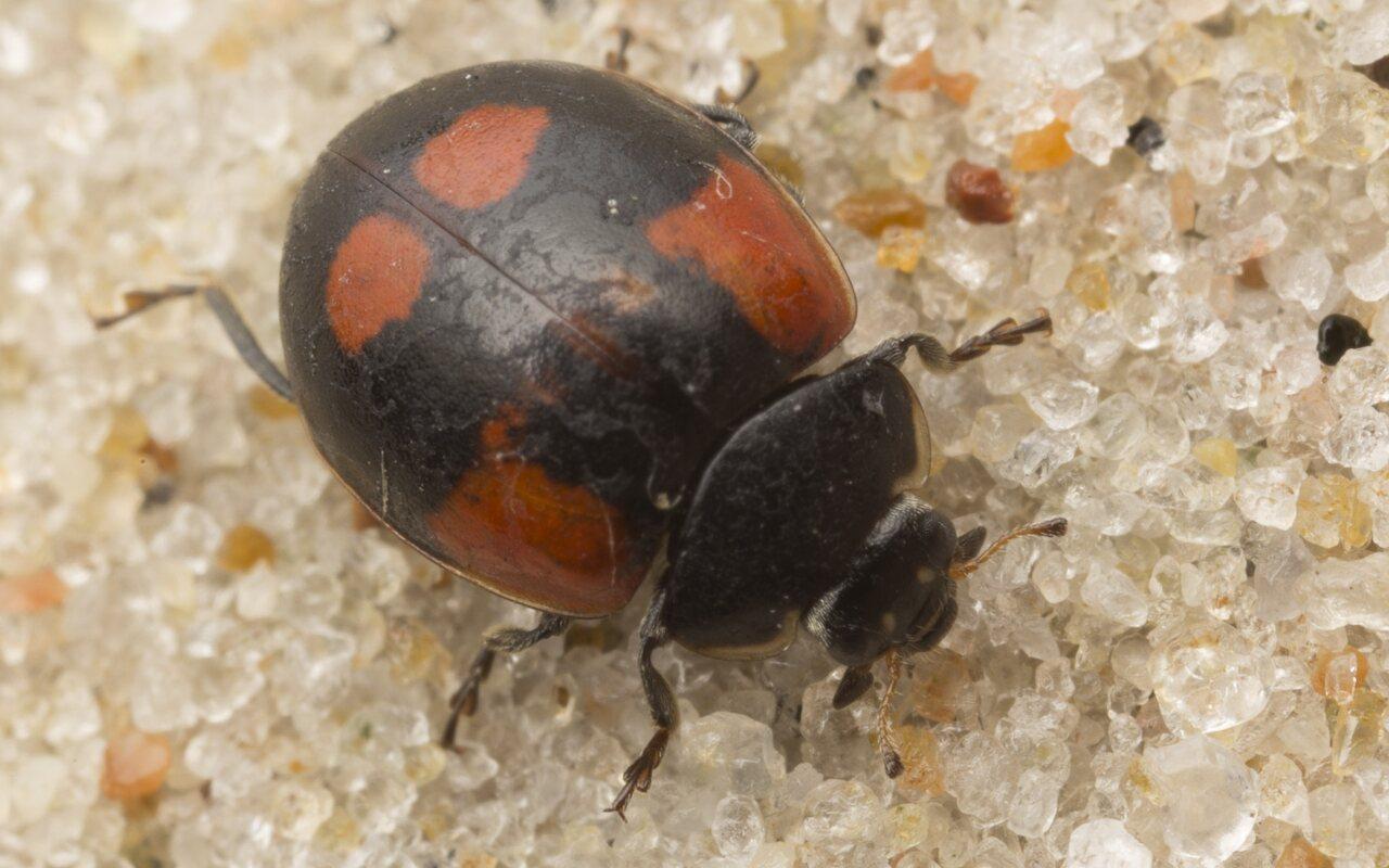 Exochomus-quadripustulatus-2710.jpg
