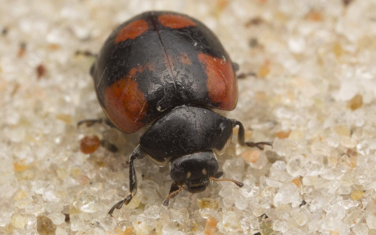 Exochomus-quadripustulatus-2711.jpg