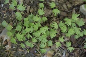 Tilia cordata seedlings · mažalapė liepa, daigai