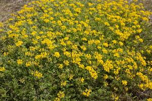 Fabaceae · pupiniai