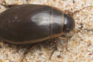 Dytiscus marginalis male · geltonkraštė dusia ♂