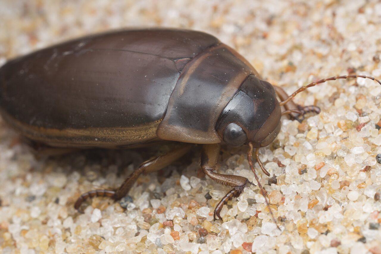 Dytiscidae-2756.jpg