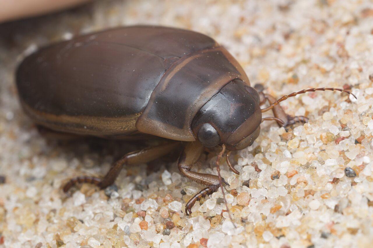 Dytiscidae-2757.jpg