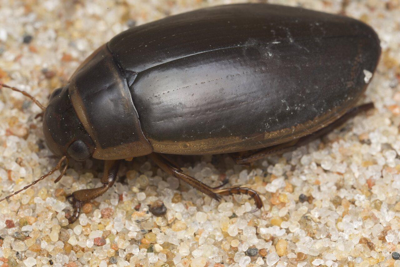 Dytiscidae-2759.jpg