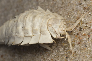 Saduria entomon · jūros tarakonas
