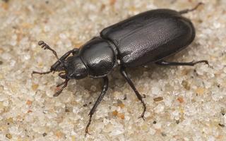 Platycerus caprea female · blindinis elniaragis ♀