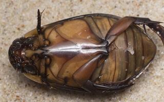 Cybister lateralimarginalis male · plačiakraštė dusia ♂