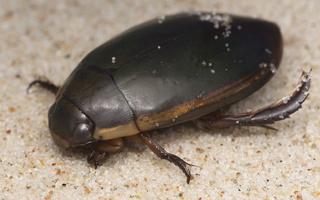 Dytiscidae · dusios