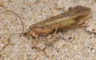 Limnephilus flavicornis · apsiuva