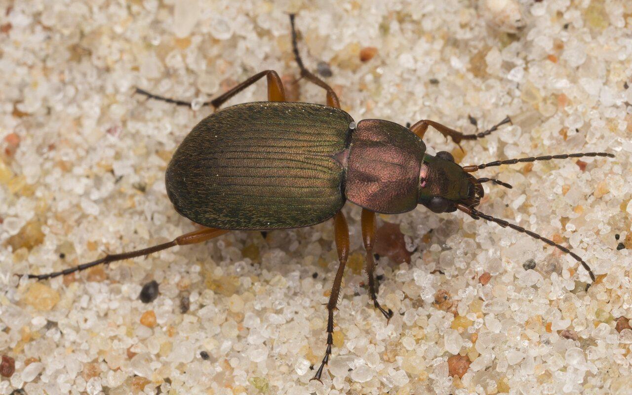 Carabidae-2881.jpg