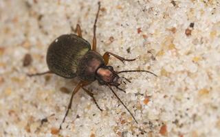 Chlaeniellus nigricornis · juodaūsis žalsvažygis