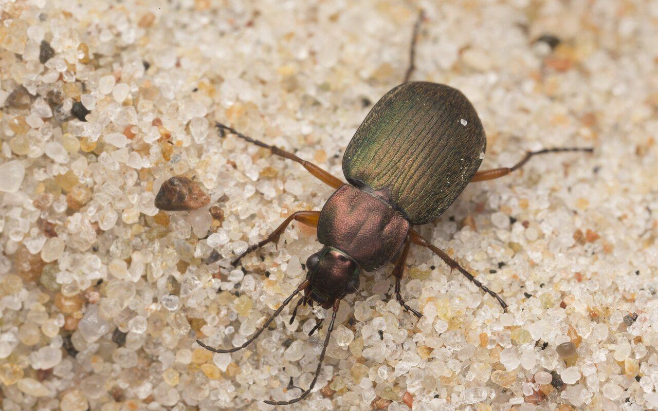 Carabidae-2886.jpg