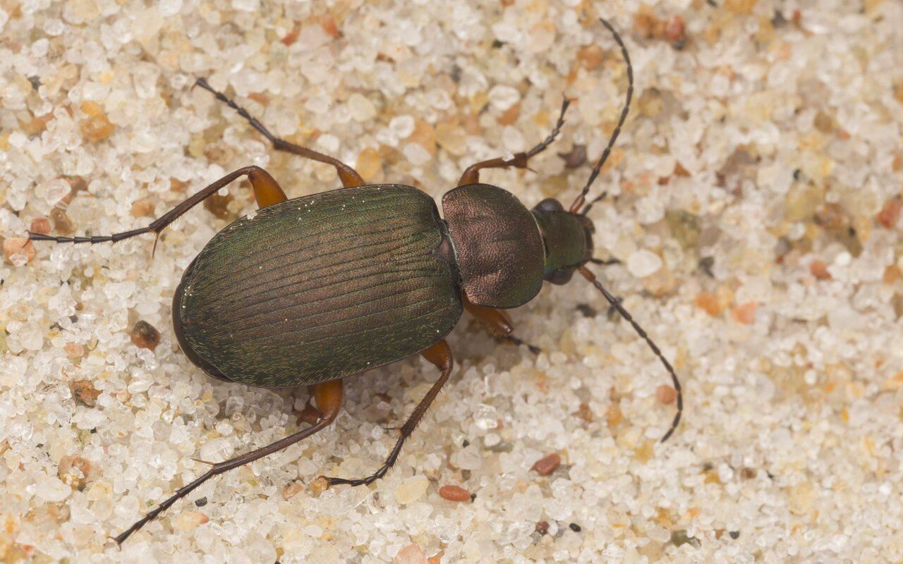 Carabidae-2887.jpg