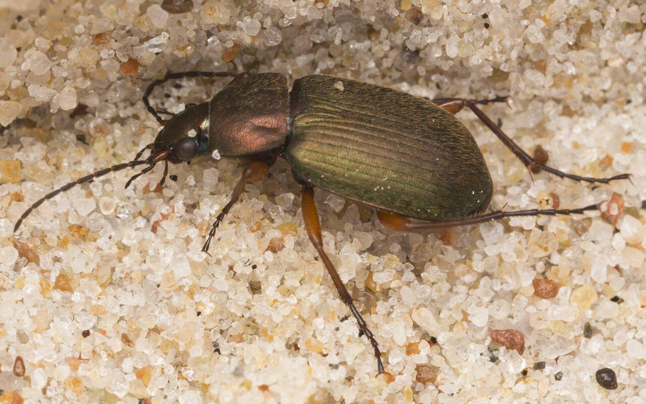 Carabidae-2888.jpg