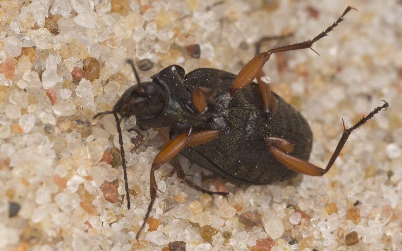 Carabidae-2892.jpg