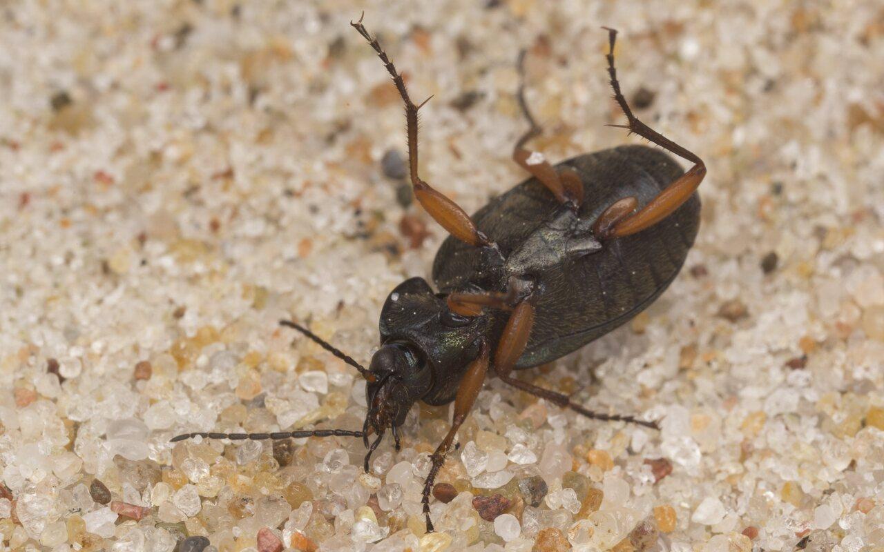 Carabidae-2893.jpg