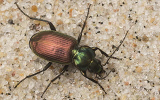 Agonum sexpunctatum · šešiataškis žvitražygis