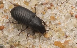 Carabidae · žygis
