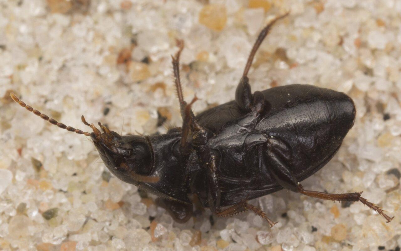 Carabidae-2921.jpg