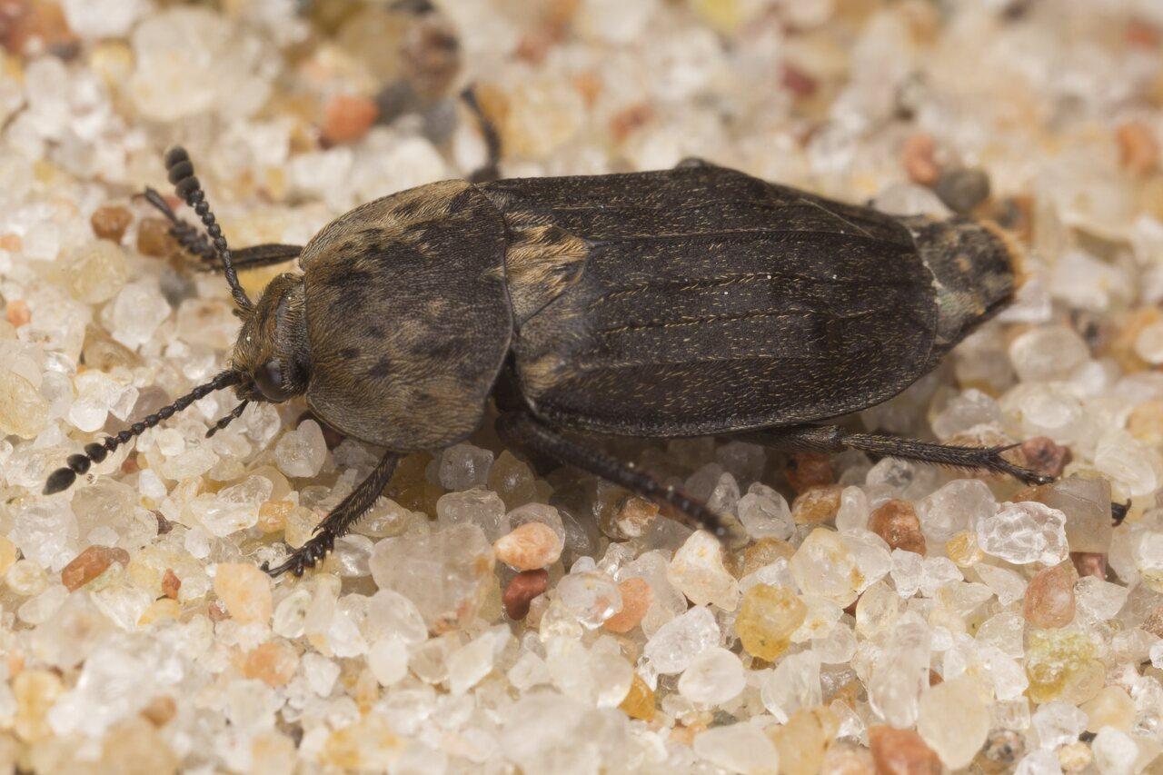 Silphidae-2929.jpg