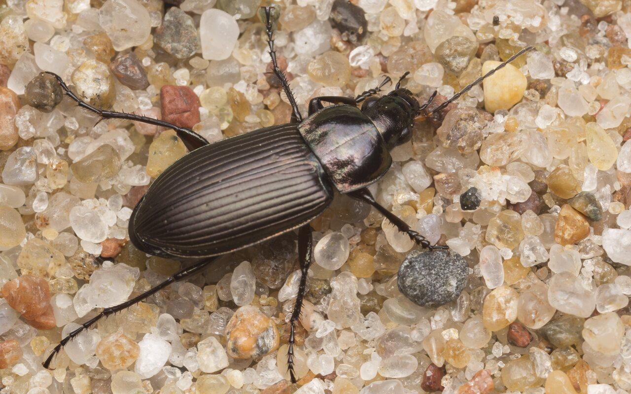 Carabidae-2937.jpg