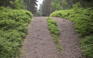 Juodkrantė · miško takelis 2940