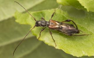Molorchus minor · eglinis laibūnas