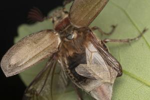 Melolontha melolontha male, wings · paprastasis grambuolys ♂