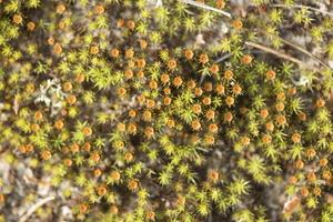 Polytrichum juniperinum · smiltyninis gegužlinis