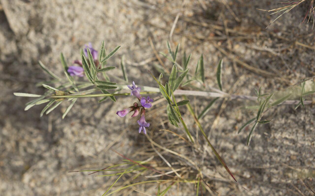 Fabaceae-2968.jpg