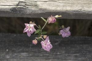 Aquilegia vulgaris · paprastasis sinavadas