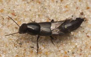 Staphylinidae · trumpasparnis