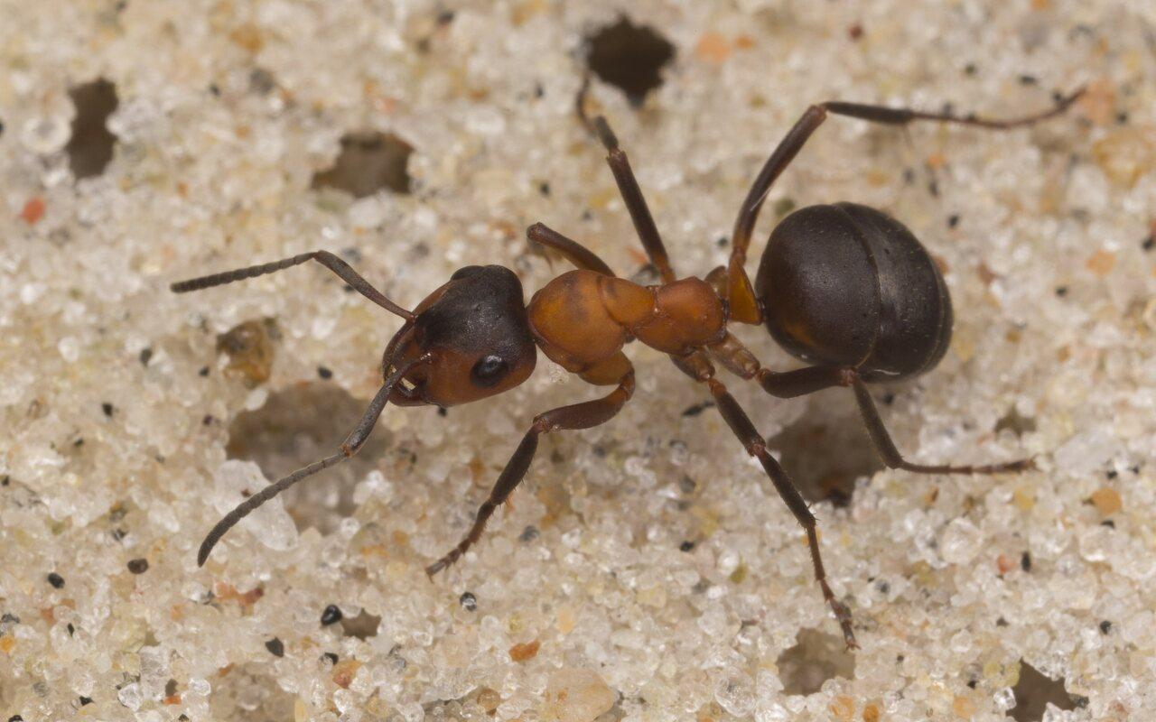 Formicidae-3039.jpg