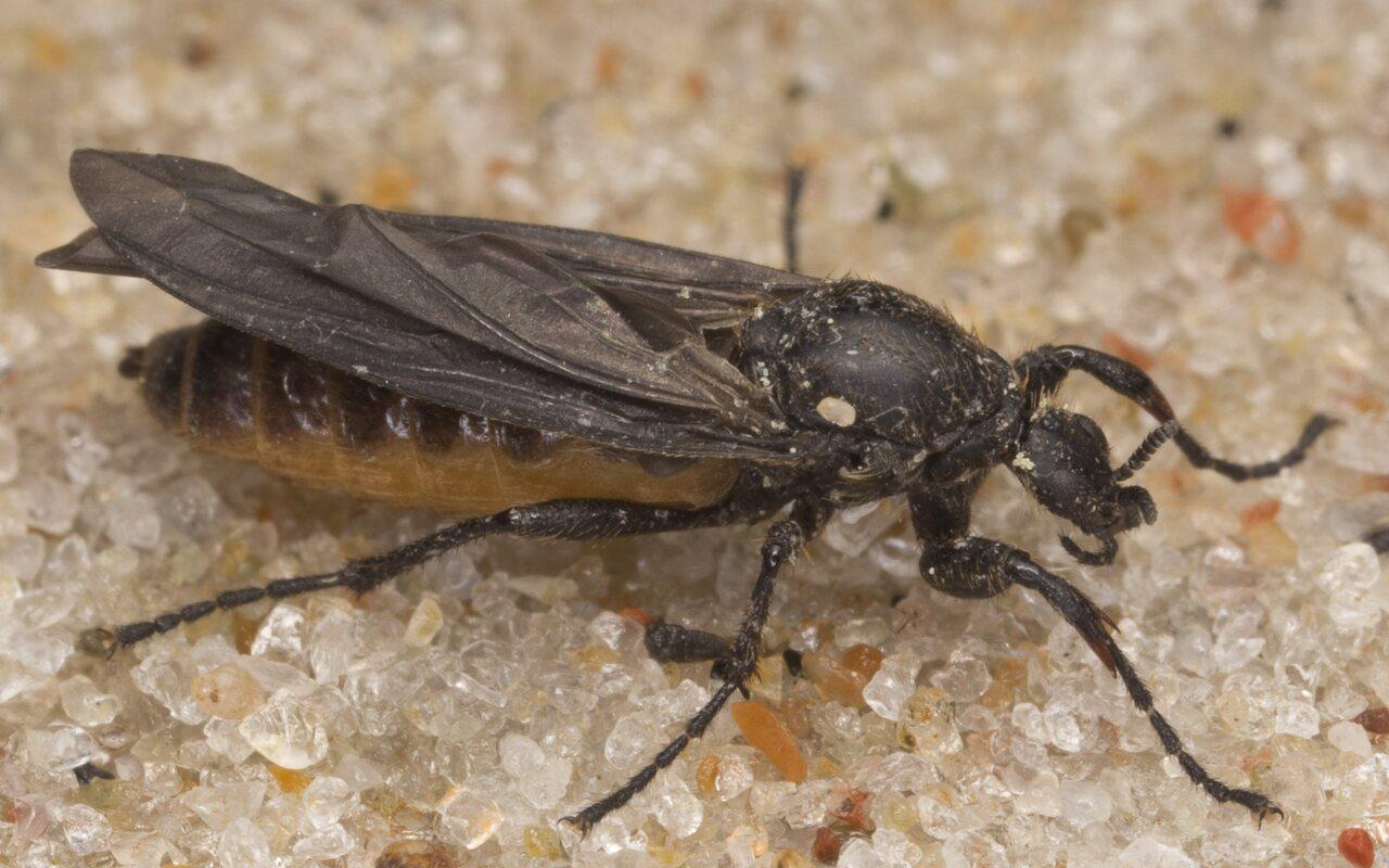 Bibionidae-3074.jpg