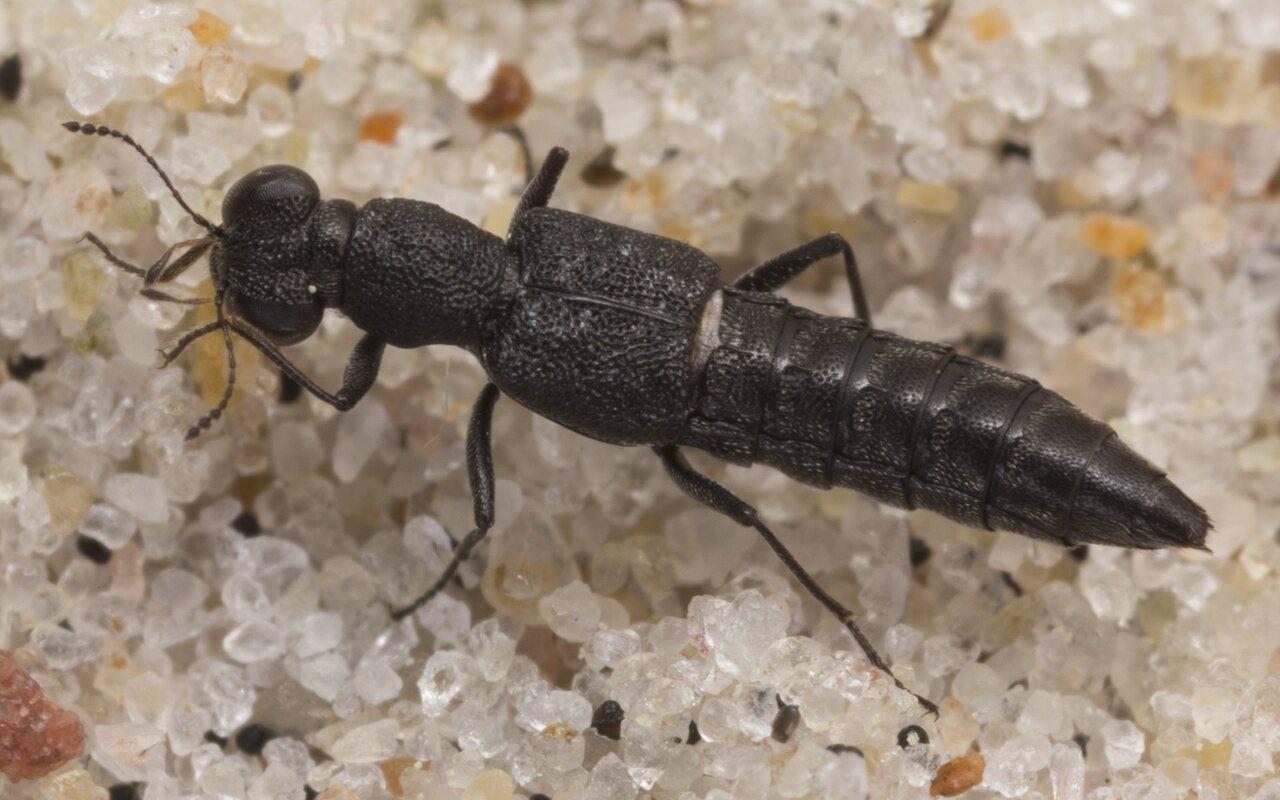 Staphylinidae-3091.jpg