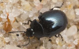 Phaedon armoraciae · šlapyninis žėrulis