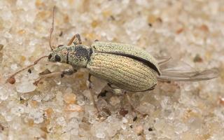 Phyllobius arborator · šeriuotasis lapinukas