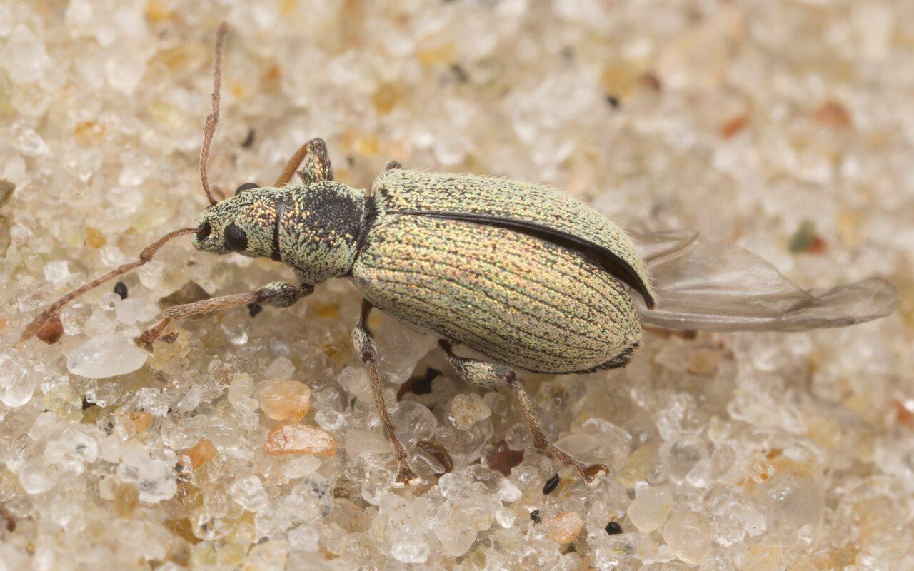 Curculionidae-3103.jpg