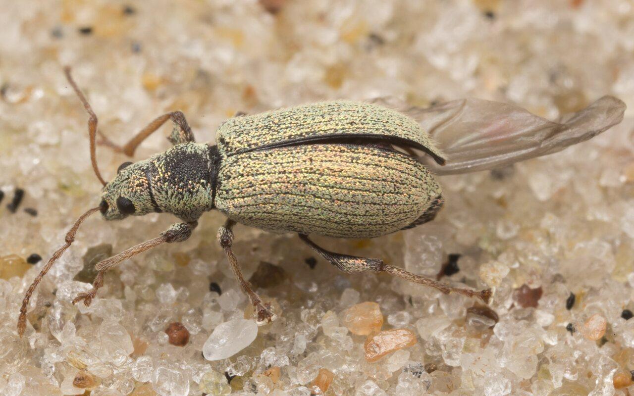 Curculionidae-3104.jpg
