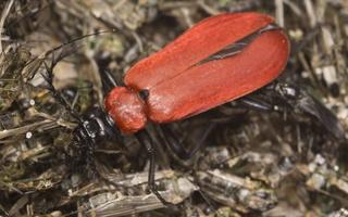 Pyrochroa coccinea · paprastasis raudonvabalis